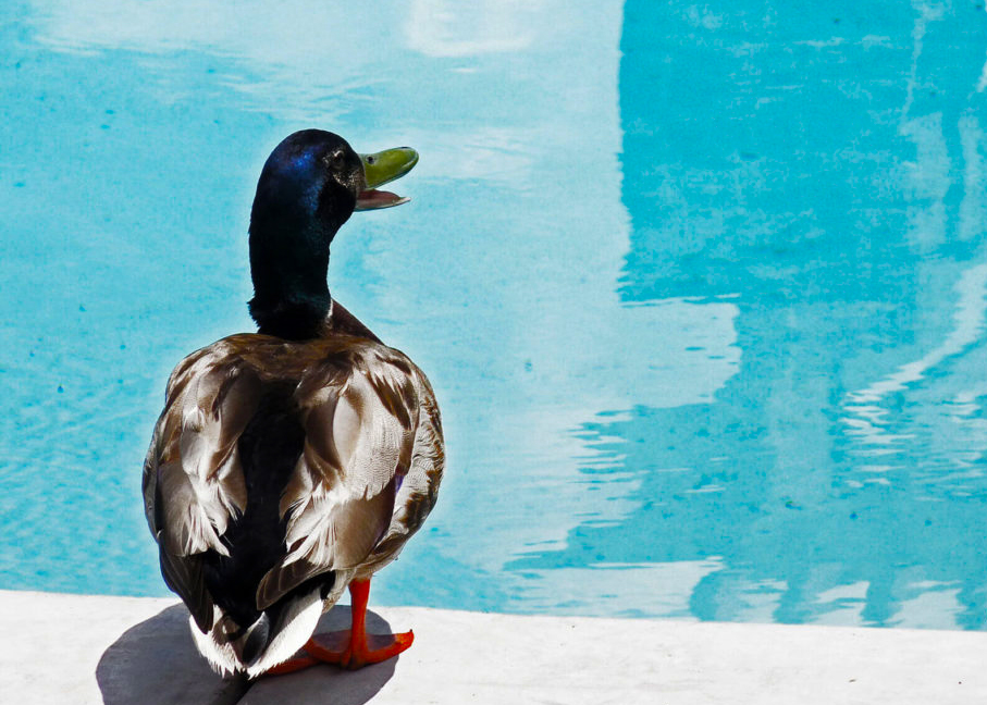 pools and ducks